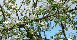 Apple flowering. Blossoming white-pink flowers in blooming orchard tree, gardening.  stock footage