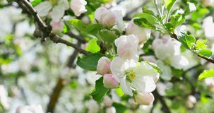 Apple flowering. Blossoming white-pink flowers in blooming orchard tree, gardening.  stock video