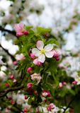 The apple flowers. royalty free stock images