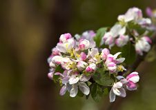 Apple flowers. Apple tree flowers a sunny day Stock Photo