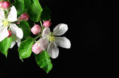 Apple flowers. White apple blossoms on black background royalty free stock photo
