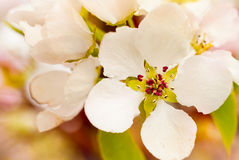 Apple flowers Royalty Free Stock Photo