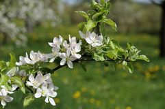 Apple flowers #4, baden Stock Photo