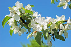 Apple flowers against blue sky. White apple flowers on background of blue sky Royalty Free Stock Photos
