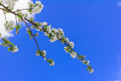 Apple flowers against intensely blue sky Royalty Free Stock Image