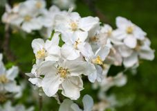 Apple flowers Stock Images