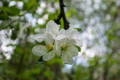 Apple flowers Royalty Free Stock Photos