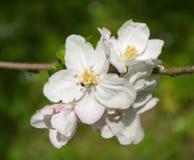 Apple flowers Stock Image