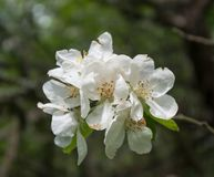 Apple flowers Royalty Free Stock Photography