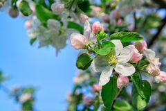 Apple flowers background Royalty Free Stock Photography