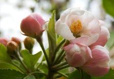 Apple Flowers. Beautiful soft pink apple flowers stock photo