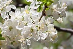 Apple flowers Stock Photos