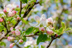 Apple flowers and bee Royalty Free Stock Image