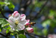 Apple flowers with bee Stock Image