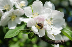 Apple flowers and the bee Royalty Free Stock Images