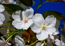 Apple flowers in bloom. Royalty Free Stock Images