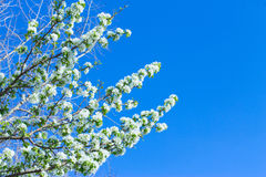 Apple flowers are blooming, on background sky. Apple flowers are blooming, on blue background sky royalty free stock image