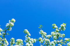 Apple flowers are blooming, on background sky. Apple flowers are blooming, on  blue background sky stock image