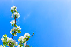 Apple flowers are blooming, on background sky. Apple flowers are blooming, on  blue background sky stock images