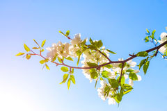 Apple flowers are blooming, on background sky. Apple flowers are blooming, on blue background sky stock photography