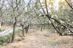 Apple flowers blossom in spring time with green leaves nature ba Stock Images