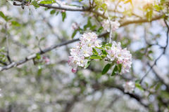 Apple flowers blossom in spring time with green leaves nature ba Royalty Free Stock Photography