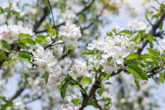 Apple flowers blossom in spring time with green leaves nature ba Stock Photo