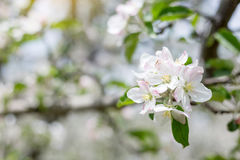 Apple flowers blossom in spring time with green leaves nature ba Royalty Free Stock Photos