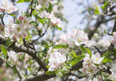 Apple flowers blossom in spring time with green leaves nature ba Stock Photos
