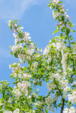 Apple flowers Blossoming Royalty Free Stock Images