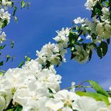 Apple flowers blue sky Stock Image