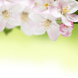 Apple flowers border Royalty Free Stock Image