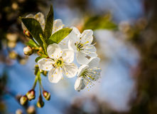 Apple flowers on the branch, blurred background. Three apple flowers on the branch, blurred background Royalty Free Stock Image