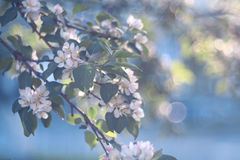 Apple flowers on a branch Royalty Free Stock Photography
