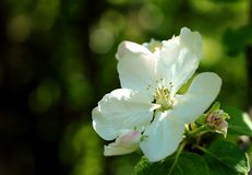 Apple flowers on branch stock photography