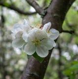 Apple flowers Stock Photography