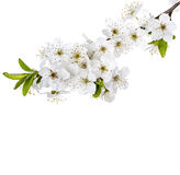 Apple flowers branch isolated on a white Stock Photography