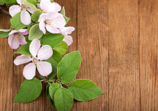 Apple flowers branch Royalty Free Stock Photo