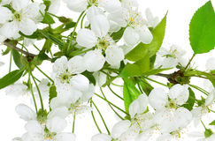 Apple flowers branch Royalty Free Stock Image