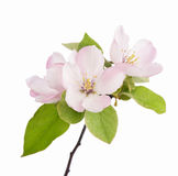 Apple flowers branch Royalty Free Stock Photography