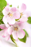 Apple flowers branch Stock Image