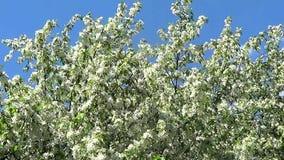 Apple flowers stock video footage