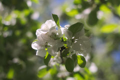 Apple flowers in bright light Stock Image