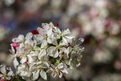 Apple flowers brunch. White flowers stock photo