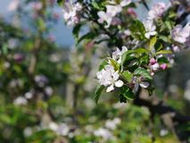 Apple flowers and buds blooming at spring Royalty Free Stock Images