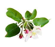 Apple flowers and buds Royalty Free Stock Images