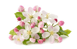 Apple Flowers with buds Royalty Free Stock Images