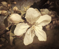 Apple flowers and buds. Stock Photos