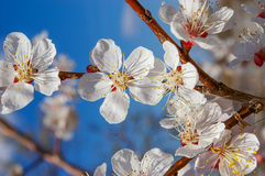 Apple flowers and buds. Apple tree branch with flowers and buds Royalty Free Stock Image