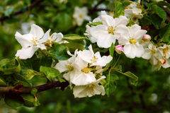 Apple flowers Royalty Free Stock Photo